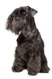 Miniatuur zwarte Schnauzer royalty-vrije stock foto's