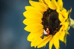 Miniatuurcijferlezing op een Zonnebloem Royalty-vrije Stock Afbeeldingen