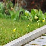 Miniatuurgele narcissen Stock Foto's