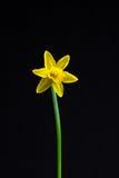 Miniatuurgele narcissen Royalty-vrije Stock Foto