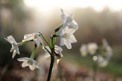 Miniatuurgele narcissen of narcissen backlit door ochtendzon Stock Afbeeldingen