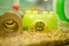 Miniatuurhamster in een dierenwinkel Royalty-vrije Stock Fotografie