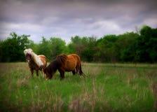 Miniatuurpaarden in weiland Royalty-vrije Stock Foto's