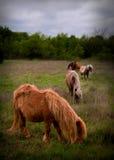 Miniatuurpaarden in weiland Royalty-vrije Stock Afbeelding