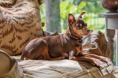 Miniatuurpincherhond stock afbeelding