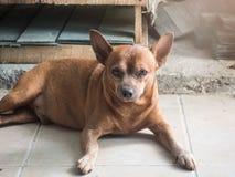 Miniatuurpinscher zit op vloer, vette hond Stock Fotografie