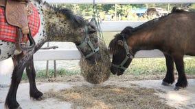 Miniatuurponeypaard stock footage