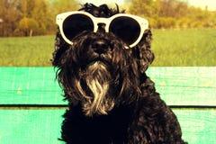 Miniatuurschnauzer met zonnebril stock foto's