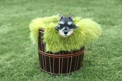 Miniatuurschnauzer-Puppy in openlucht Royalty-vrije Stock Foto