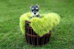 Miniatuurschnauzer-Puppy in openlucht Royalty-vrije Stock Afbeeldingen