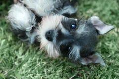 Miniatuurschnauzer-Puppy in openlucht Stock Afbeeldingen