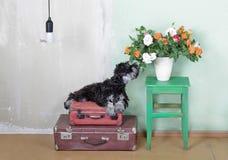 Miniatuurschnauzer-puppyzitting op koffers en het ruiken Stock Afbeelding