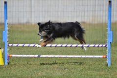 Miniatyramerikansk (förr herde för australiern) på hundvighetförsöket Royaltyfri Bild