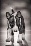 MiniatyrBull terrier Arkivfoton