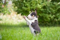 MiniatyrBull terrier Royaltyfri Foto