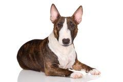 Miniatyrbull terrier hund som ner ligger på vit bakgrund royaltyfri bild
