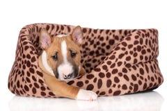 Miniatyrbull terrier valp på vit bakgrund royaltyfri foto