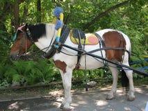 Miniatyrhäst i sele Royaltyfria Foton