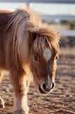Miniatyrhäst med Shaggy Winter Coat Fotografering för Bildbyråer