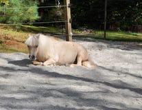 Miniatyrhäst som vilar i paddock Arkivbilder