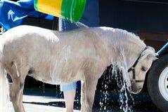 Miniatyrhästen som får ett bad och, sköljer Arkivbild