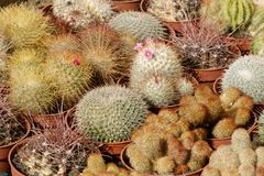Miniatyrkaktusväxtcloseup - kaktusmakro Arkivfoto