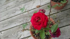 Miniatyrröda Rose Bush arkivbild