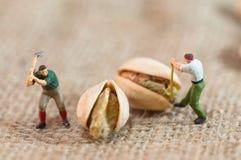 Miniatyrskogsarbetare klippte upp pistascher Fotografering för Bildbyråer