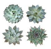 Miniatyrsuckulentväxter Arkivfoton