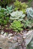 Miniatyrsuckulentväxter royaltyfria foton