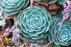 Miniatyrsuckulentväxter Fotografering för Bildbyråer
