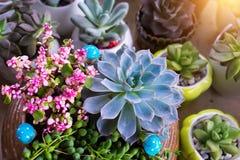 Miniatyrsuckulentväxter royaltyfri foto