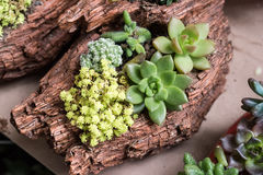 Miniatyrsuckulentväxter Arkivfoto