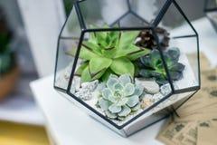 Miniatyrsuckulentväxter Royaltyfri Bild