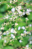 Miniatyrvita blommor Arkivfoton