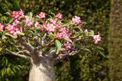 Minibonsais Baobabbaum, der in einem Park blüht Rosa Blumen Stockbilder