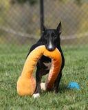 Minibullterrier, der sein angefülltes Spielzeug trägt Lizenzfreie Stockfotos