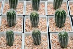 Minicactusinstallatie in witte pot Stock Foto