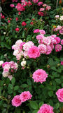 Miniiature rosor Royaltyfri Fotografi