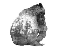 Minimal stile double exposure Brown Bear with baby and forest Stock Images