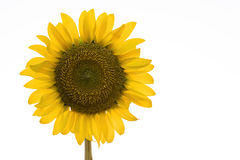 Minimal sunflower. On white background Stock Photo