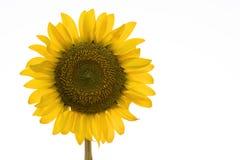 Minimal sunflower. On white background stock photo
