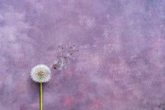 Minimalism fluffig maskros med frö på en härlig abstrakt purpurfärgad bakgrund Kopieringsutrymme, lekmanna- lägenhet royaltyfri foto
