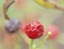 Minimalismo rojo de la pimienta de chiles de la bola Fotos de archivo libres de regalías