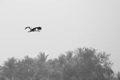 Minimalist of Asian openbill stork bird flying Royalty Free Stock Images