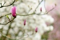 Minimalist della magnolia Fotografia Stock Libera da Diritti