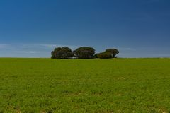 Cereal field, holm oaks and blue sky stock images