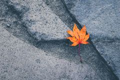 Minimalist style, Retro color filter. A red dry maple leaf being. Alone on rock path. Concept image imply as lonely, abandon, outstanding, or unique one. With royalty free stock photos
