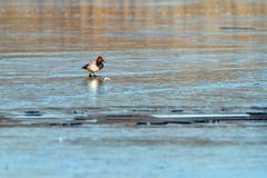 Minimalist view with duck on ice Royalty Free Stock Images