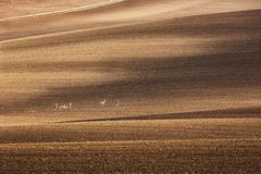 Minimalistic agricultural autumn Landscape with group of small deers on cultivated fields in South Moravia, Czech Republic. Brown Royalty Free Stock Photo